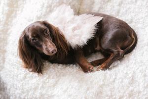 doggie wearing newborn angel wings