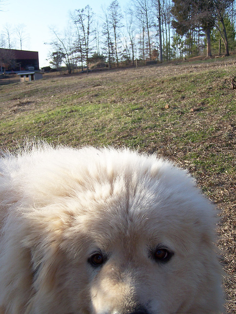 Great Pyrenees peeks at the camera in goat pasture