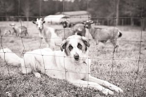 Anatolian Livestock Guardian Dog with flock of goats